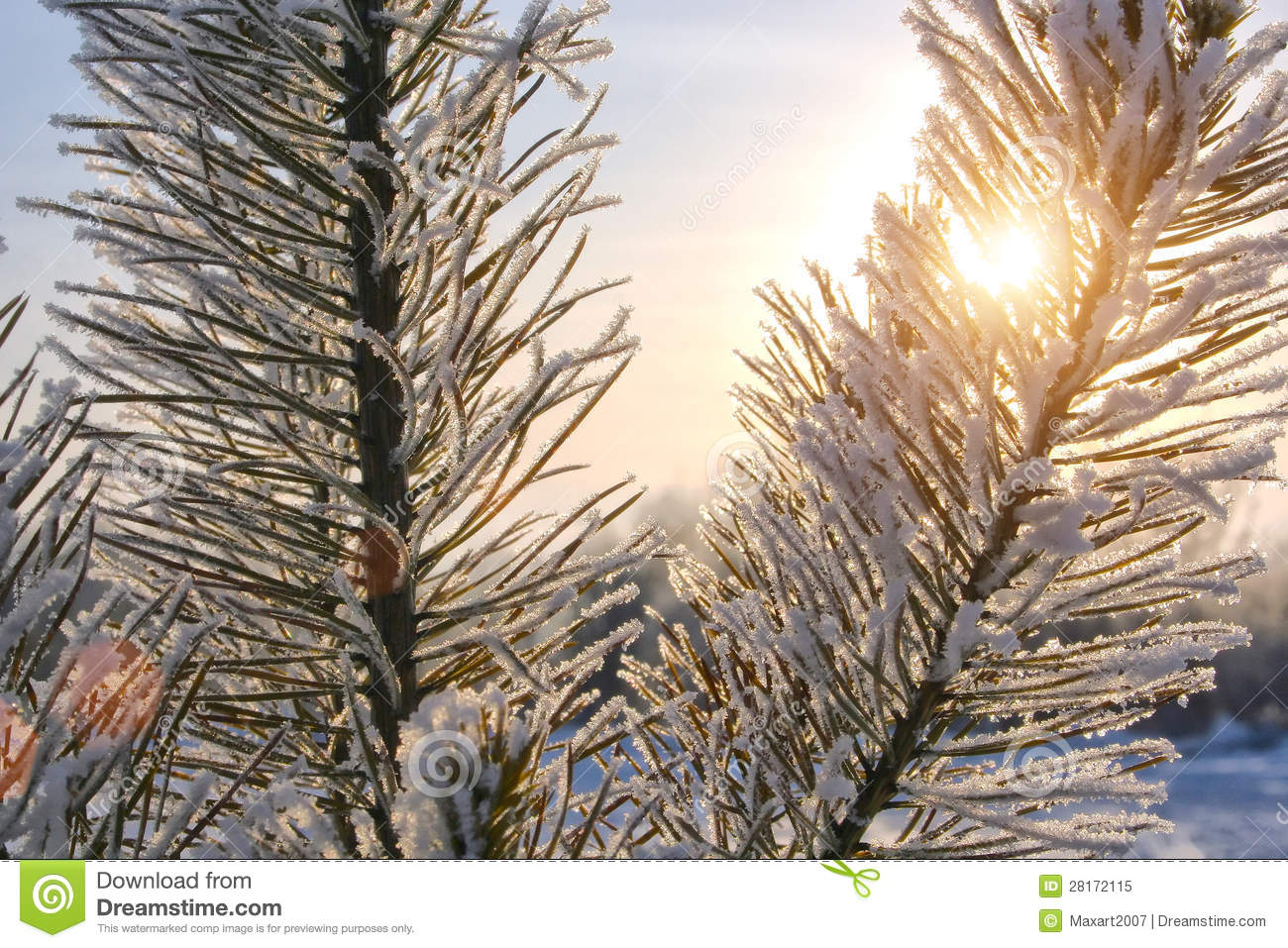 Winter Fur tree Royalty Free Stock PhotoImage: 28172115 1665