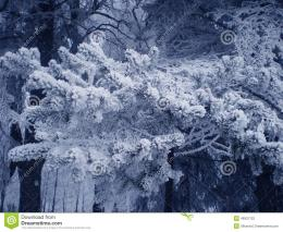 In a photo the winter park is representedThe fur tree branch is 424