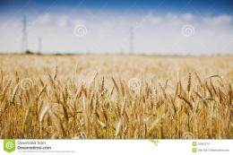 Golden Wheat Field Against Blue Sky Stock ImagesImage: 15052714 209