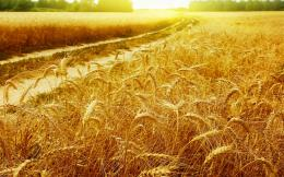 Download high quality 1680 x 1050 Gold Wheat Field Wallpaper 1399