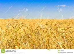 golden wheat field blue sky 44563600 jpg 829