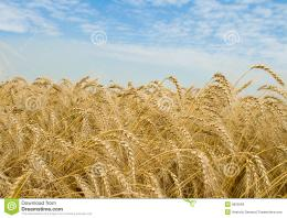Golden Wheat Field Royalty Free Stock ImagesImage: 5825569 1897