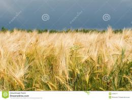 Golden Wheat Field Royalty Free Stock PhotographyImage: 5462217 1452