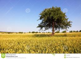 Golden Wheat Field Stock ImageImage: 21363381 638