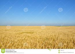More similar stock images of ` Gold wheat field ` 520
