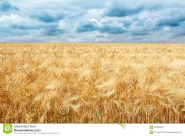 Golden Wheat Field With Dramatic Storm Clouds Royalty Free Stock Photo 304