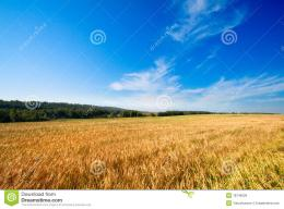 Golden Wheat Field Royalty Free Stock ImageImage: 18746526 425