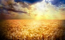 Golden wheat fields picturesfree pictures 976