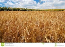 Golden Wheat Field Stock ImageImage: 9711821 1781