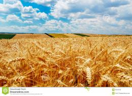 Golden Wheat Field Royalty Free Stock ImageImage: 8167076 780