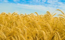 free Golden wheat field picturefree pictures 1091