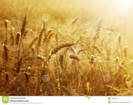 Beautiful Image of Golden Wheat Field Harvest concept 888