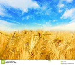 Golden wheat field with blue sky in background 1009