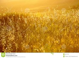 Golden Wheat Field Royalty Free Stock ImageImage: 25371916 1555