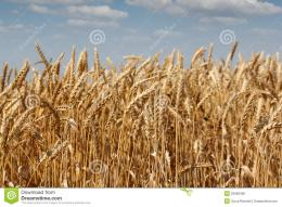 Golden Wheat Field Royalty Free Stock ImageImage: 25668426 316
