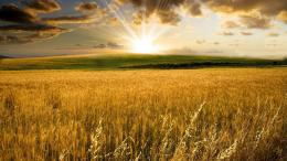 Golden wheat field Wallpaper #9597 1428