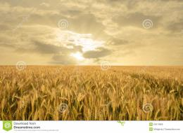 Golden wheat field under cloudy evening sunset 167