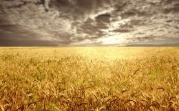 Wheat field at the sunset1920 x 1200Sunriseandsunset 599