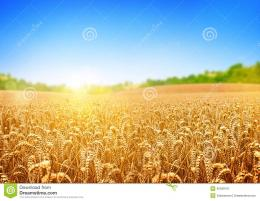 Golden Wheat Field Stock PhotoImage: 40026101 1320