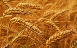 Golden wheat fields picturesfree pictures 1465