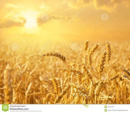 Golden Wheat Field Close Up Royalty Free Stock ImageImage: 19121716 891