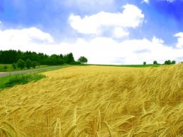 Golden Wheat Field Wallpaper 1360