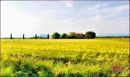 PanoramioPhoto of Golden Wheat Field 121