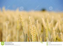 Golden wheat field and blue skyHarvest concept 1429
