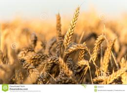 Golden Wheat Field Stock PhotographyImage: 26595972 429