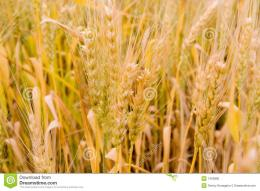 Golden Wheat Field Stock PhotoImage: 7403880 881