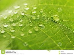 Water Drop On Green Leaf Stock PhotosImage: 31665633 1654