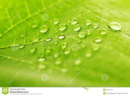 Water Drop On Green Leaf Stock PhotographyImage: 33051162 215