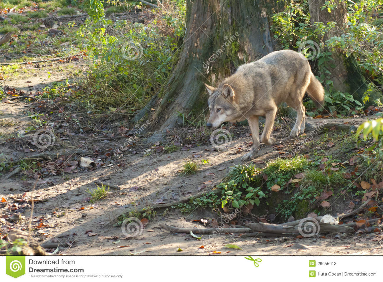 Gray Wolf In Forest Stock PhotosImage: 29055013 839
