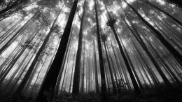 Forest in greyscale HD Wallpaper » FullHDWppFull HD Wallpapers 1459