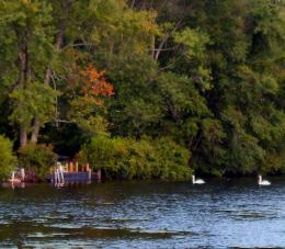 Swans At Dusk In Early Fall At Timber Lake 731