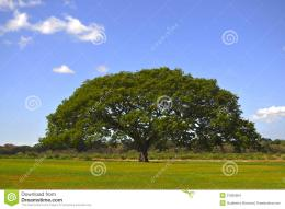 big tree huge middle green field 31065964 jpg 570