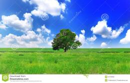 Alone One Big Tree On Green FieldPanorama Stock PhotographyImage 1895