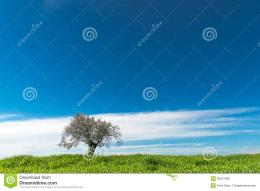 Lonely Olive Tree Stock PhotographyImage: 30257382 1525