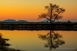 lone tree stands upon the Skagit farmlands at sunset, reflected in a 1435