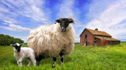 Similar wallpapers for Blackface Sheep In Barn Meadow 448