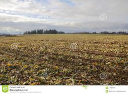 Cabbage Crop In Winter Stock PhotoImage: 64093919 540