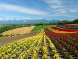 Similar wallpapers for Colorful flower field in Hokkaido landscape 756