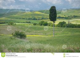 Single cypress tree in a wide open Tuscan landscape under a cloudy sky 1605