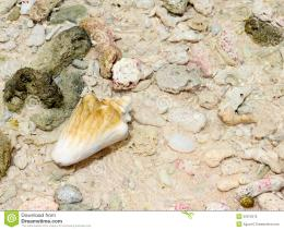 Shell On Beach With WaveConch And Pebbles On The Sand Royalty Free 268