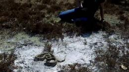Pine Snake dig Bass River State ForestYouTube 1034