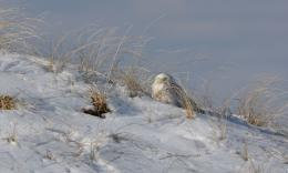Woods Walks and Wildlife: SnowyOwl!!Beach 653