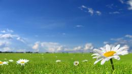 Daisies in the green grass wallpaper547328 1559