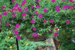 Flowers To Choose For Hanging Baskets 941