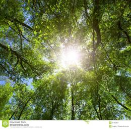 Green ForestSun Light Through TreetopsStock ImageImage 1033