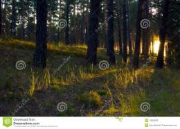Sunrise In Forest Stock PhotographyImage: 13363062 1564